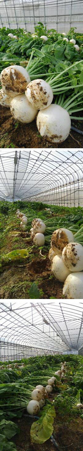 大かぶの収穫